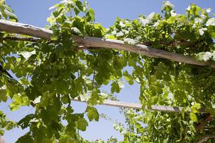 Grape vinesの写真素材 [FYI03470423]