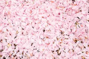 Pink petalsの写真素材 [FYI03472103]