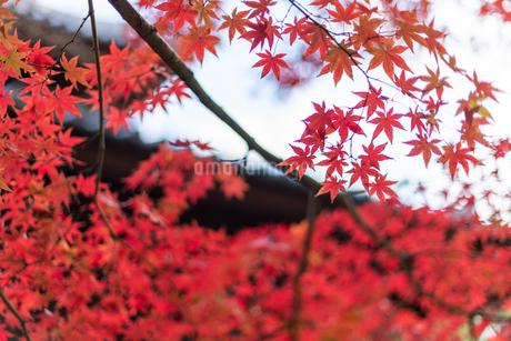 赤い紅葉のある風景の写真素材 [FYI03472516]