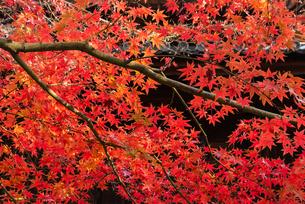 赤い紅葉のある風景の写真素材 [FYI03472536]