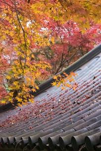 美しい紅葉と瓦屋根の写真素材 [FYI03472719]