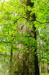新緑の一本の木の写真素材 [FYI03472736]