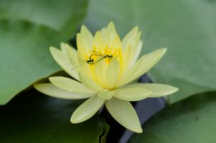 黄色いスイレンの花と二匹の蜻蛉の写真素材 [FYI03472776]