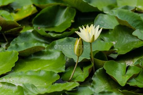 スイレンの花の写真素材 [FYI03472778]