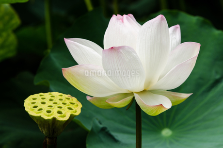 白いハスの花とハチスの写真素材 [FYI03472795]