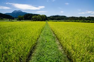 田んぼの中の畦道の写真素材 [FYI03472799]