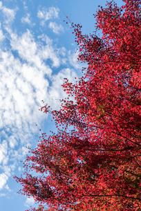 紅葉と空と雲の写真素材 [FYI03472965]