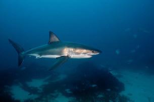 Great White Sharkの写真素材 [FYI03473009]