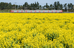 満開の菜の花畑とローカル列車の写真素材 [FYI03473029]