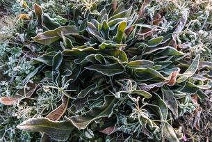 凍えた草の写真素材 [FYI03473169]