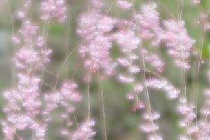 枝垂れ桜 多重露光の写真素材 [FYI03473223]