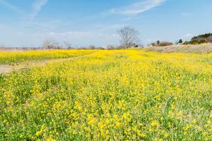 菜の花のある風景の写真素材 [FYI03473339]