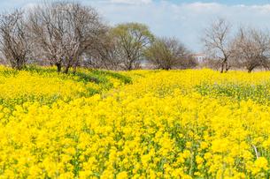 満開の菜の花のフィールドの写真素材 [FYI03473341]