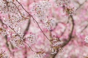 桜の花の写真素材 [FYI03473344]