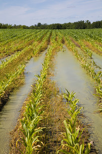 Flooded corn fieldの写真素材 [FYI03473458]