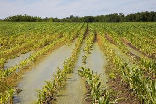 Flooded corn fieldの写真素材 [FYI03473460]