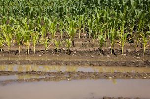 Flooded corn fieldの写真素材 [FYI03473462]