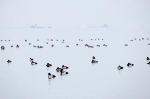 宍道湖 冬 鴨とあひるが水面の上で休む様子の写真素材 [FYI03473779]