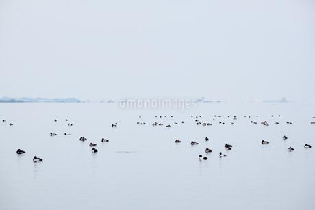 宍道湖 冬 鴨とあひるが水面の上で休む様子の写真素材 [FYI03473794]