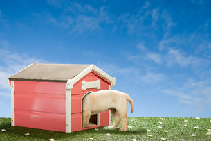 Labrador puppy in kennelの写真素材 [FYI03473995]