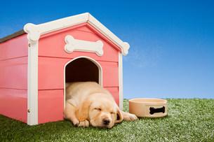 Labrador puppy asleep in kennelの写真素材 [FYI03474012]