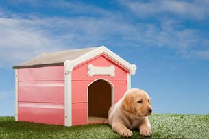 Labrador puppy by kennelの写真素材 [FYI03474013]