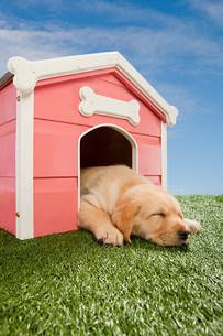 Labrador puppy asleep in kennelの写真素材 [FYI03474014]