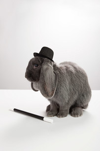 Rabbit wearing top hat with magic wandの写真素材 [FYI03474021]