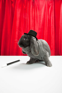 Rabbit wearing top hat with magic wandの写真素材 [FYI03474024]