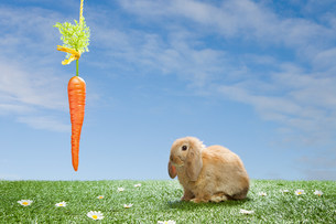 Rabbit with dangling carrotの写真素材 [FYI03474027]