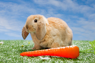 Rabbit with a carrotの写真素材 [FYI03474028]