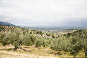 Olive grove with Sierra Nevada mountains,Granada,Spainの写真素材 [FYI03475929]