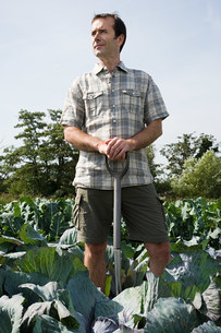 Man standing in cabbage fieldの写真素材 [FYI03476944]