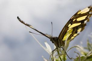 Monarch butterflyの写真素材 [FYI03477554]