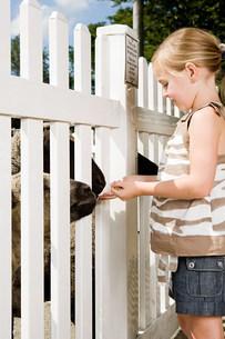 Girl feeding sheep at the zooの写真素材 [FYI03478633]