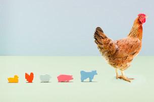 Hen standing with line of toy farmyard animals in studioの写真素材 [FYI03478971]