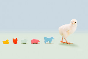 Chick standing with toy farm animals in studioの写真素材 [FYI03478972]