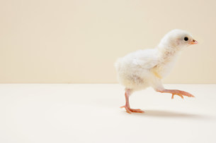 Chick walking against beige background, studio shotの写真素材 [FYI03478983]