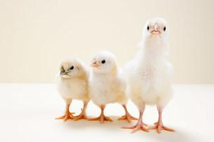 Three chicks against beige background, studio shotの写真素材 [FYI03478984]