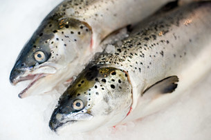 Two trout side by side on iceの写真素材 [FYI03479047]