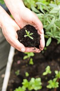 Man holding seedling in soilの写真素材 [FYI03479317]