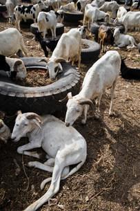 Rams for festival of Tobaski, Roadside livestock market, Briの写真素材 [FYI03480375]
