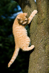 Ginger cat gripping treeの写真素材 [FYI03480855]