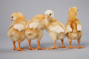 Four chicks rear view, studio shotの写真素材 [FYI03480868]