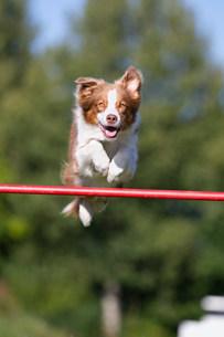 Dog jumping over barの写真素材 [FYI03481000]