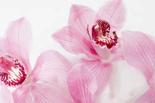 Two pink flowers, close upの写真素材 [FYI03481117]