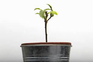Seedling growing in flower potの写真素材 [FYI03481304]
