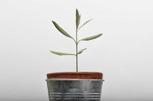 Seedling growing in flower potの写真素材 [FYI03481305]