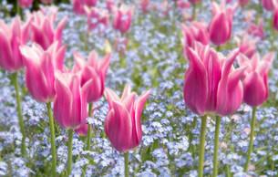Pink flowersの写真素材 [FYI03482122]
