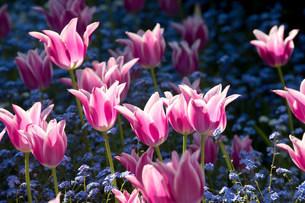 Pink flowersの写真素材 [FYI03482123]